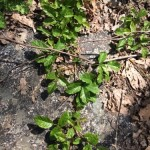 Poison oak...saw this a lot on this trip
